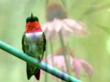 Hummingbird and Cone Flowers