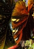 Angel Wing Begonia