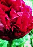 Ruby Peony
