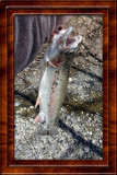 Rainbow Trout I caught in Ithaca NY (Cayuga Inlet) Apr 2017