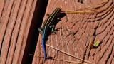 Blue Tailed Skink North Carolina