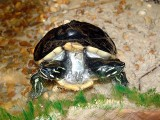 2 headed Turtle