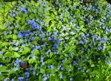 Omphalodes verna  Kevätkaihonkukka