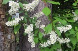 Hagberry tree/European Bird Cherry/ Prunus padus
