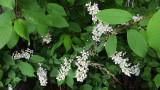 Hagberry tree/Prunus padus