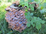 misc fungi