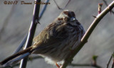 Swamp Sparrow At Blair Pond