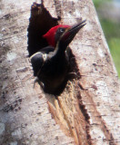 Lineated Woodpecker in El Valle de Anton