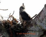 Crested Eagle