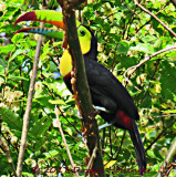 Keel Billed Toucan in the tree