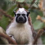 Portrait of Geoffrey's Tamarin