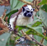 Geoffrey's Tamarin on the move