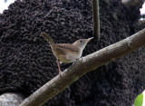 Looking for a nest - Wren