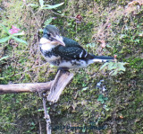 Green Kingfisher Female Adult