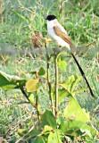 Tyrannus savana Fork-tailed Flycatcher