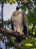 Harpy Eagle chick Calling for Momma