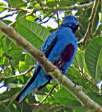 Blue Cotinga (Body to show the scarlet belly)