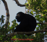 Howler Monkey in the Darien