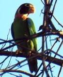 Pyrilia haematotus, Brown-hooded Parrot