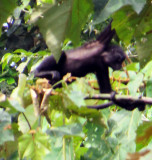 Spider Monkey at SanFrancisco