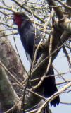 Red-throated Caracara (Daptrius americanus)