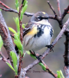 Today near the lilac, this myrtle warbler was flycatching!