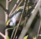 Chestnut - sided Warbler