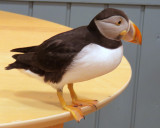TOTI, the Puffin at the Aquarium