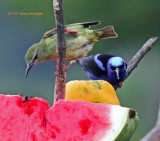 Female Green honeycreeper, and Red Legged Honeycreeper (Male)