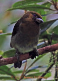 Prongbilled Barbet