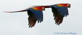 Scarlet Macaws (Ara macao) Flying By