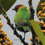 Bay Headed Tanager in a Fig tree