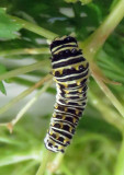 Black Swallowtail Caterpillar Filled Out!
