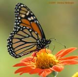 Monarch on Tithonia