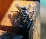 Bald Faced Hornet At Lee's House