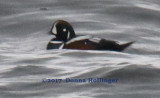 Male Harlequin Duck  Swimming on Cape Ann this morning