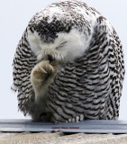 Sniff...Sniff Miss Snow OWl