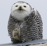 Claw Cleaning Time for the Snowy Owl
