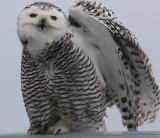 WingStretch  Miss Snowy Owl