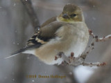 Hungry American Goldfinch
