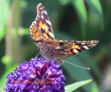 Hundreds of Painted Ladies visited our garden in September 2017