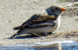 Snow Bunting all By Itself