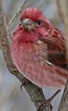 Purple Finch looking for Suet
