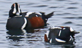 Two Male Harlequin Ducks in Rockport MA