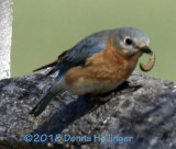 Female Bluebird with Worm