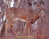 LAst Night at Dusk:  Deer