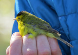 Birdbanding with Vermont Eco Studies 800ywer.6674.copy.jpg