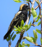 Bobolink with his whole tail