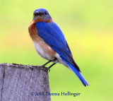 Male Bluebird near a Nesting Box