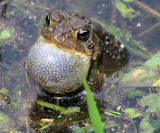 American Toad Trilling in our pond